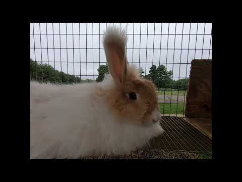 Rooster crowing and angora rabbits reaction