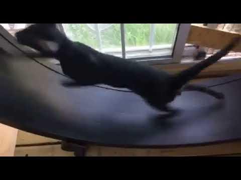 Ebony Oriental Shorthair Shagio Chen Viliam on Fast Cat Wheel