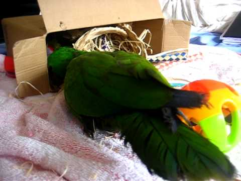 Audi the Eclectus parrot playing with toys