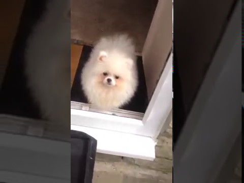 White Teacup Pomeranian Puppy For Sale Uk Youtube