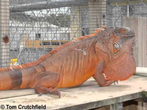 Large Iguana For Sale