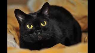 Бомбей (Bombay cat) породы кошек( Slide show)!
