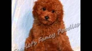 Teacup Poodle ~ Puppies For Sale, By Pets4you.com