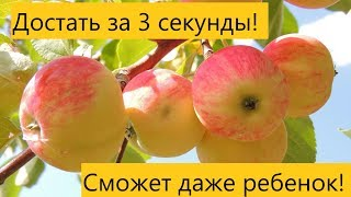 как снимать яблоки с высокой яблони