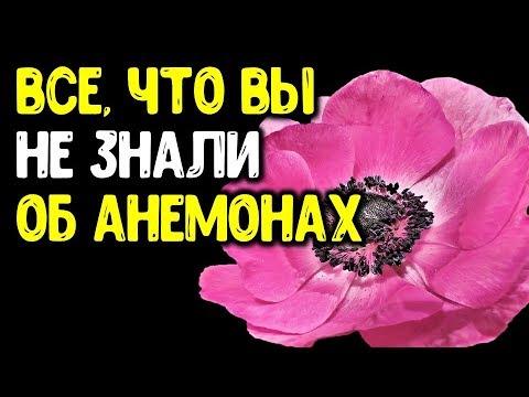 Весенние анемоны: от А до Я. Ветреница корончатая от посадки клубней и до цветения, и не только...