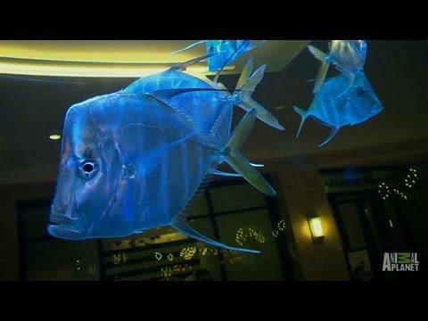 Westfield Mall Custom Aquarium  Tanked