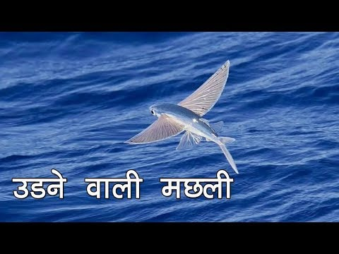 उड़ने वाली मछली / Amazing Flying Fish Real Video In The World / Fish Video