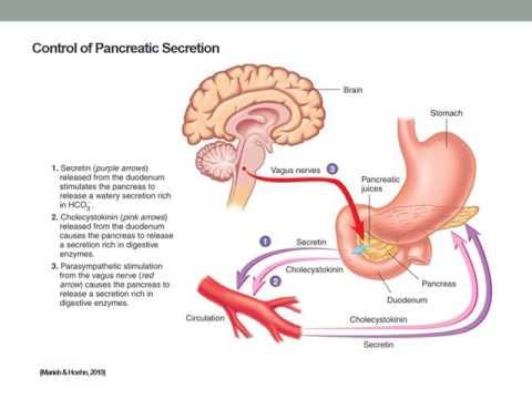 Pancreas Exocrine Functions - YouTube