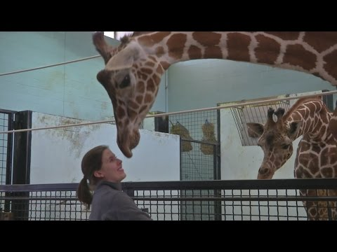 Thumbnail: Local experts talk giraffe mating, birth, and conservation