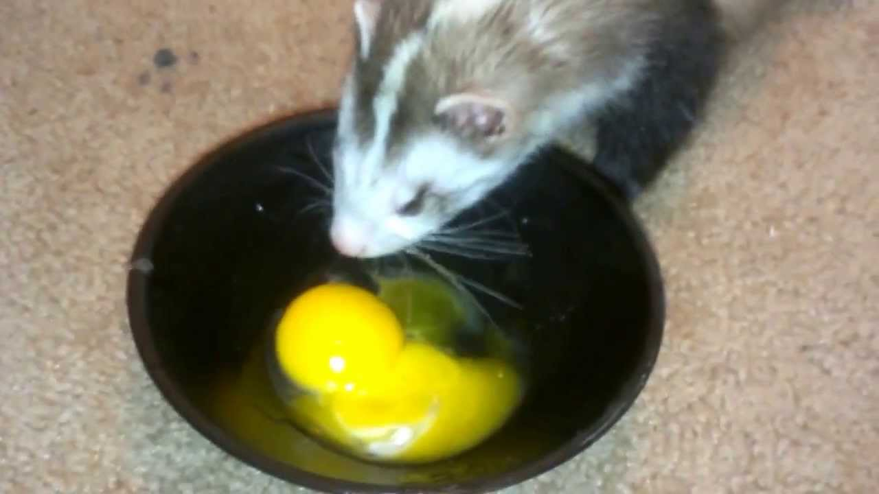 Does A Ferret Eat Cat Food The Best Cat 2018