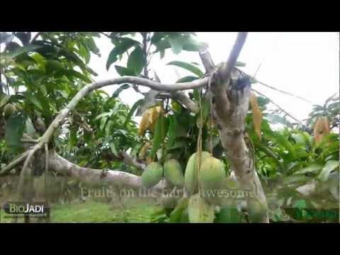 BioJadi   Mango, MK Orchard