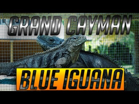 UGR - Grand Cayman Blue Iguana