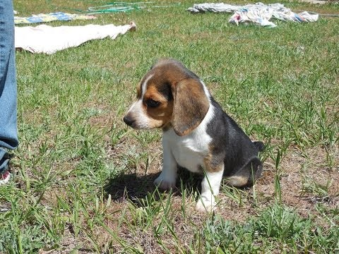 Buy a Pocket Beagle Puppy Tiny Beagles AKC Cute & For Sale