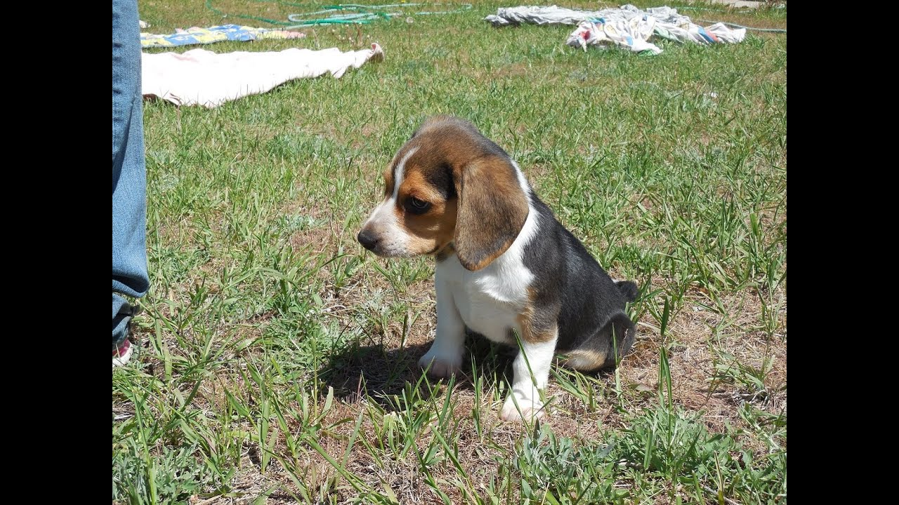 Pocket Beagle Puppy Tiny Beagles Akc