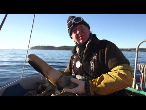 La palourde royale, l'or de la côte pacifique canadienne ...