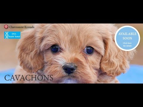 Chevromist Kennels CAVACHON Puppies