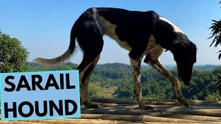 Sarail Hound  Facts and Information
