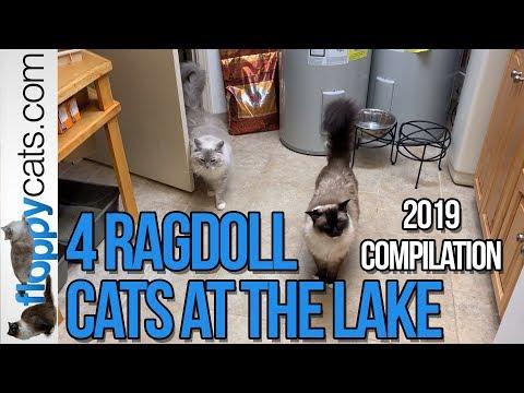 4 Ragdoll Cats at the Lake 2019 Compilation