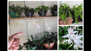 Como Deixar a Flor de Maio Lindas e Saudáveis