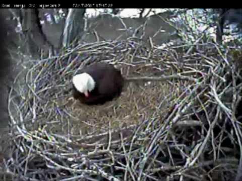 egg 2 Xcel Energys Fort St. Vrain Bald Eagles Platteville, Colorado 02/17/10 delivers egg 2