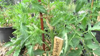 Determinate Tomatoes: Tips on Fertilizing, Pruning (DON