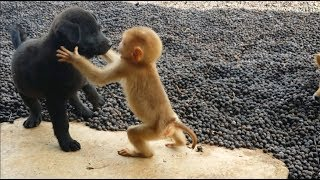 Baby Monkey Play Happily With 2 Puppies
