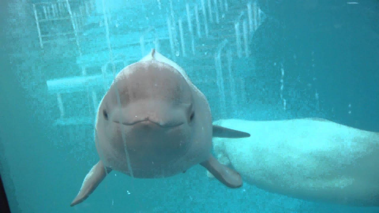 baby beluga whale interaction january 4 2015 youtube