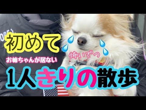 💖 初めての一人散歩で家を出た瞬間から震えが止まらない子犬チワワ【【かわいい】【犬】【chihuahua】【dog】【puppy】