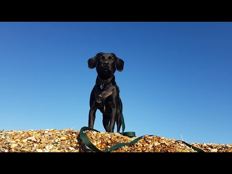 Sybil - Springerdor - 4 Weeks Residential Dog Training