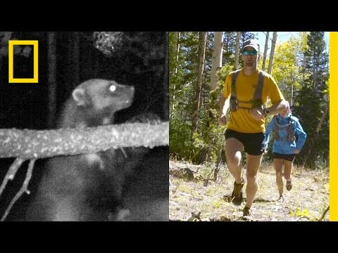 Chasing Wolverines With Help From Ultra-Runners | National Geographic