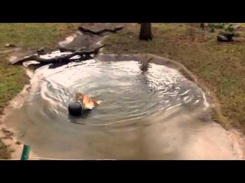 ZogaBall™ Blair Drummond Safari and Adventure Park Scotland - Genghis (male tiger)