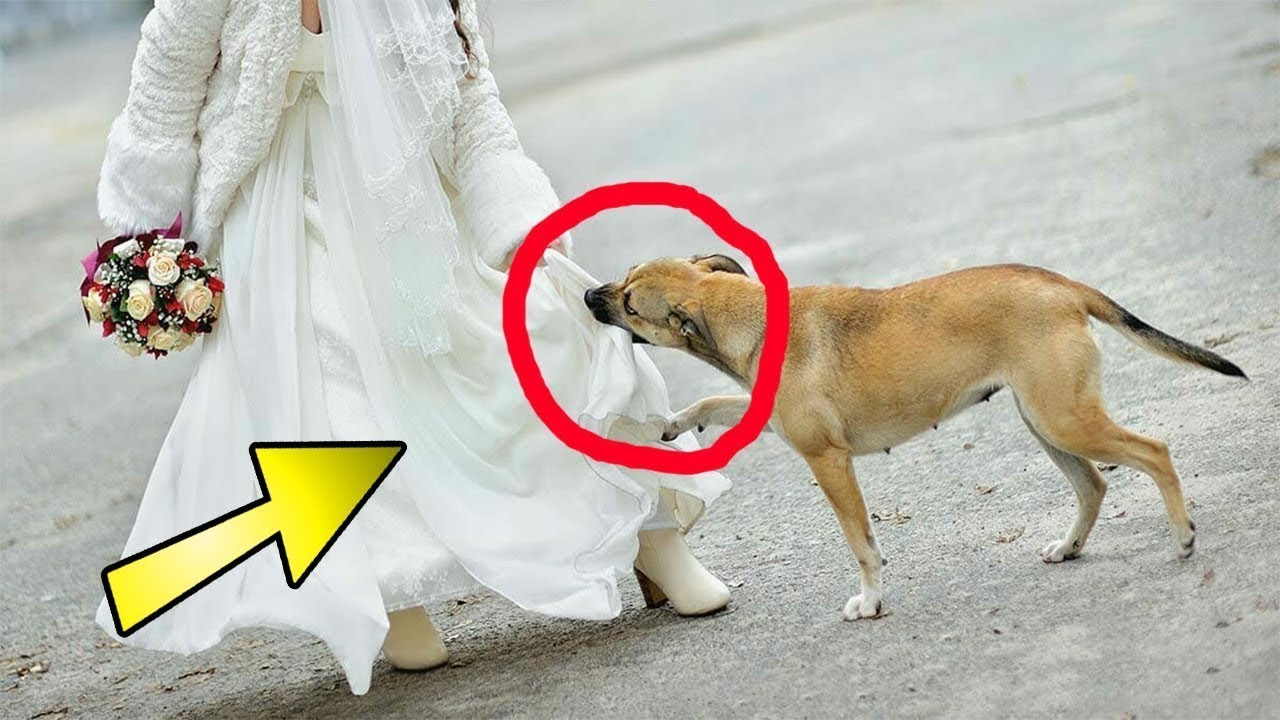 Download No one from the wedding party knew what she was hiding under her dress See what the dog did