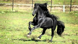 WORLD FAMOUS FRIESIAN STALLION
