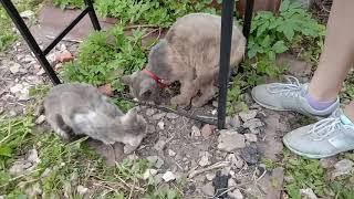 Тот, Котенок теперь кот, говорит ОТСТАНЬ. Самое милое видео! Ест и ест! Говорит мама.