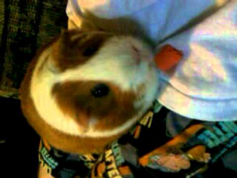 Bugsy The Big Fat Guinea Pig Eatig A Carrot Youtube