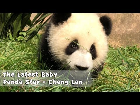 The Latest Baby Panda Star - Cheng Lan | iPanda
