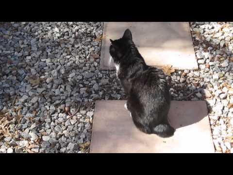 A Day In The Life of Annie The Manx Cat - February 2016