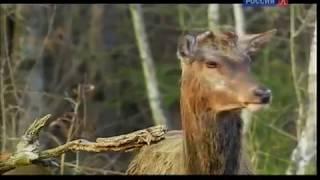 Животные мира Лесная жизнь Время любви Место обитания Звуки природы Брачные игры Пора года