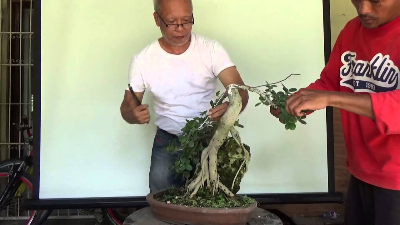 Bonsai Tutorials For Beginners Why And How To Trunk Chop A Ficus Wiring Techniques