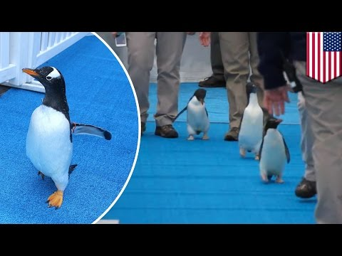 Detroit Zoo's 83 penguins waddle to the Polk Penguin Conservation Center - TomoNews