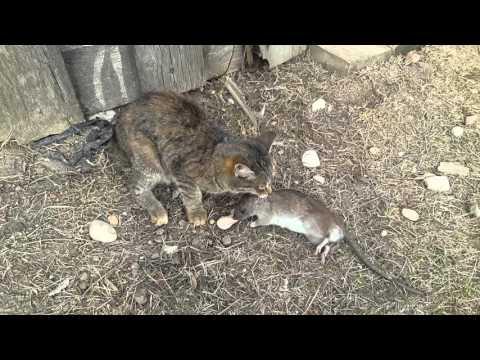 Вопрос: Как научить кота уметь постоять за себя на улице и быть хорошим охотником на грызунов?