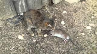 Бой кошки с крысой