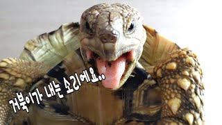 Leopard Tortoise Amazing Matin…