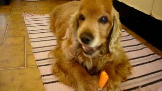 Cocker Spaniel Eating Carrot