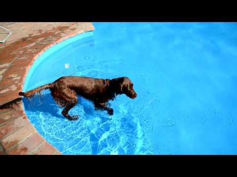 Irish Setter retrieves bottle from the swimming pool
