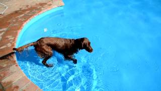 Rish Setter Retrieves Bottle From The Swimming Pool