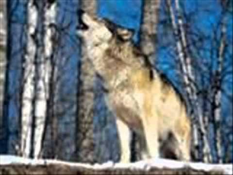 wolf howl  sound effect
