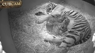 Three Adorable Sumatran Tiger Cubs Born at ZSL London Zoo!