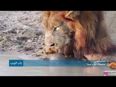 العالم العربي.. سلحفاة تطرد أسدا!!  - نشر قبل 5 ساعة