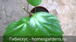 Зачем нужна обрезка китайской розе?(Как ухаживать за китайской розой (гибискусом): http://homesgardens.ru/komnatnye-rasteniya/kitayskaya-roza Доброго времени суток, цвето..., 2013-02-20T10:03:39.000Z)